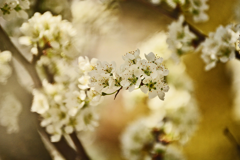 plum tree, white flowers, flowers, Georgia