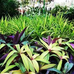 garden, ti plant, plant, flora,