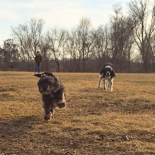 Here comes Gus and Clover #dogpark