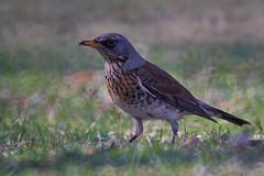 animal, prairie, ortolan bunting, perching bird, fauna, emberizidae, beak, bird, lark, wildlife,
