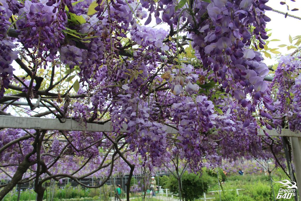 淡水紫藤咖啡園23