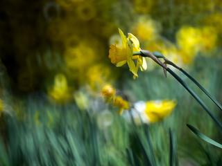 Tulpe Gelb
