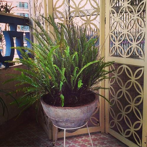 outra plantinha orfã q resgatei  e transplantei #samambaia - na minha opinião essa planta combina com os anos 1950 e 60