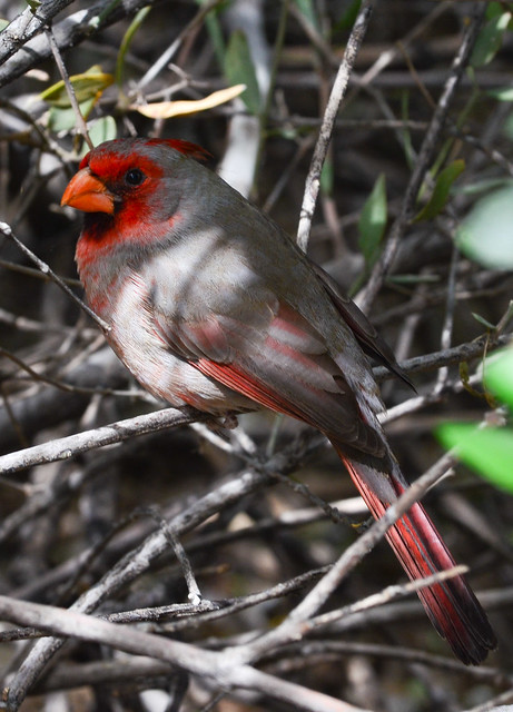 What Is The Desert Cardinal S Favorite Food