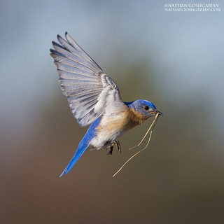 Eastern Bluebird with nest material (Male)- Ipswich, MA