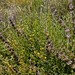 Small photo of Salvia mellifera and Acmispon glaber