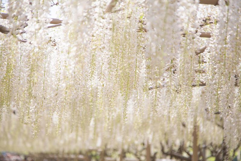 ashikaga_flowerpark-37