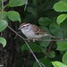 Bruant familier/Chipping sparrow-Morgan Arboreum,QC