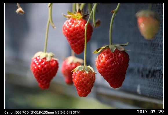 2015_0329Strawberry
