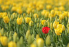 Red tulip in a sea of yellow
