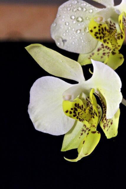Phalaenopsis stuartiana v.nobilis 16786222746_7094e0daa9_z