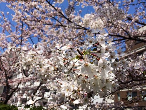 東京ミッドタウンの桜 2015/3/30