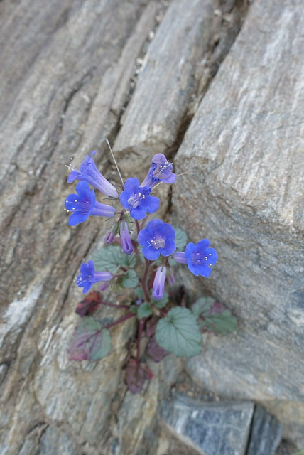 Phacelia in the rocks, m223