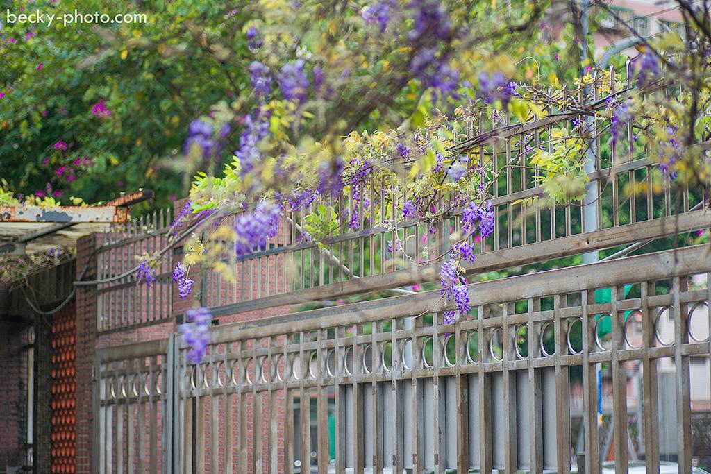 【台北】。土城區的小確幸~浪漫的紫藤花園 [土城新北高工]