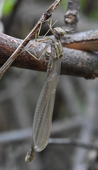 mantis(0.0), arthropod(1.0), animal(1.0), dragonfly(1.0), dragonflies and damseflies(1.0), branch(1.0), wing(1.0), invertebrate(1.0), macro photography(1.0), fauna(1.0), close-up(1.0), plant stem(1.0), twig(1.0), wildlife(1.0),