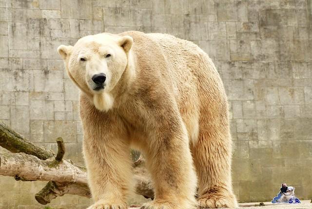 Zoo Rostock Eisbären 28.03.2015  56