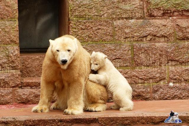 Eisbär Taufe Fiete Zoo Rostock 31.03.21015 145