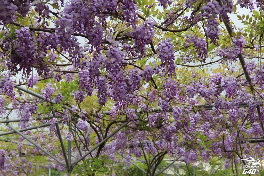 淡水紫藤咖啡園17