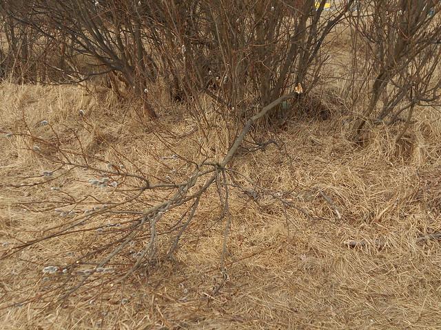 Huolimattomasti revittyjä pajun oksia Espoossa 27.3.2015 - C