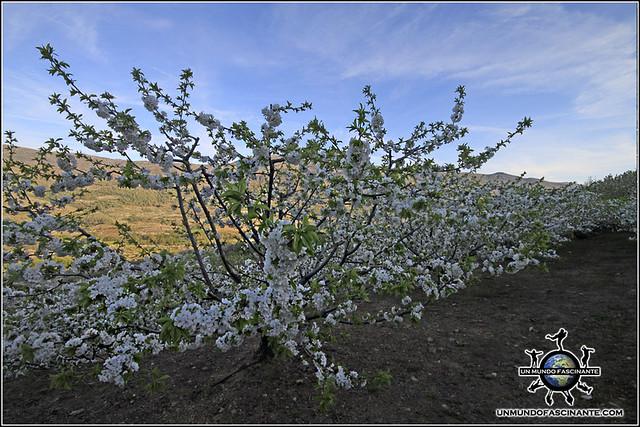 Cerezos en flor, Valdastillas, Valle del Jerte. España.