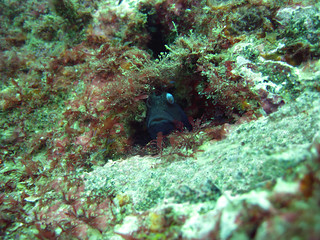 peeping goby