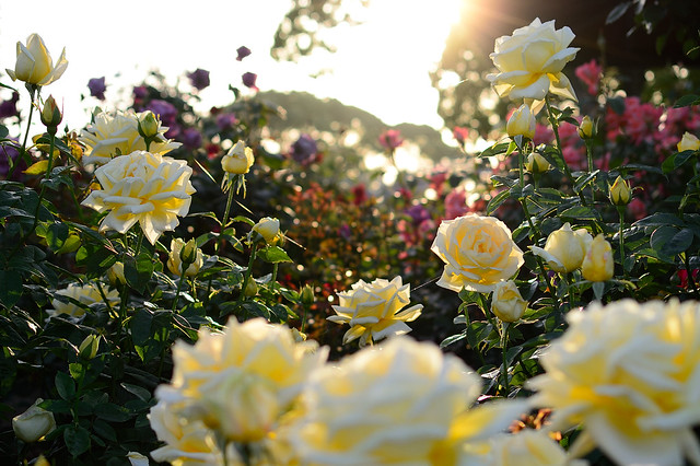 バラ Rose beds in the sunset
