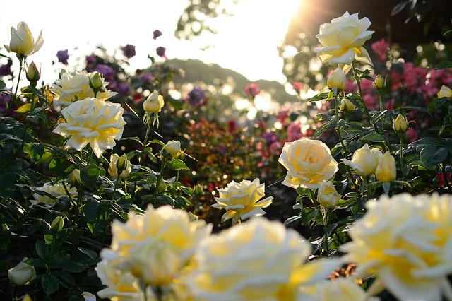 バラ Rose beds in the sunset
