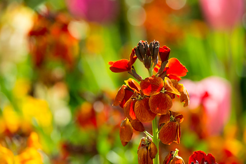 20150426-34_Wallflower Rust Red Orange