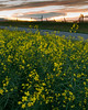 Sunset Canola