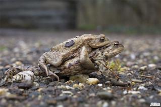 common toad, Erdkröte, Bufo Bufo @ Leipzig, Papitzer Lachen 2015