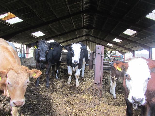 UK - East Sussex - Brightling - Cows in barn