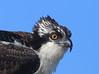 Osprey - Anahuac NWR, Texas
