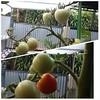 Mulai mateng #tomatoes #tomat #hydroponic