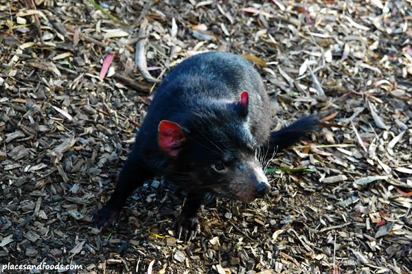 tasmanian devil 1
