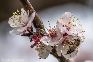 Apis mellifera on apricot flowers.