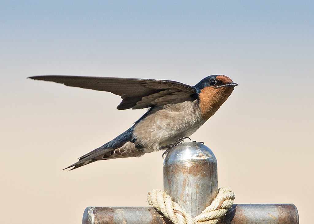 Pacific Swallow  Thailand