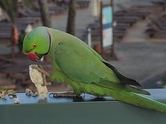Halsbandsittich beim Frühstück im Las Marismas, Corralejo , NGIDn617516270