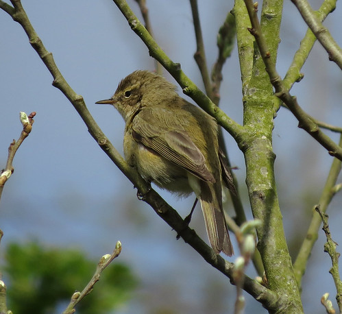 Chiffchaff Phylloscopus collybita Tophill Low NR, East Yorkshire April 2015