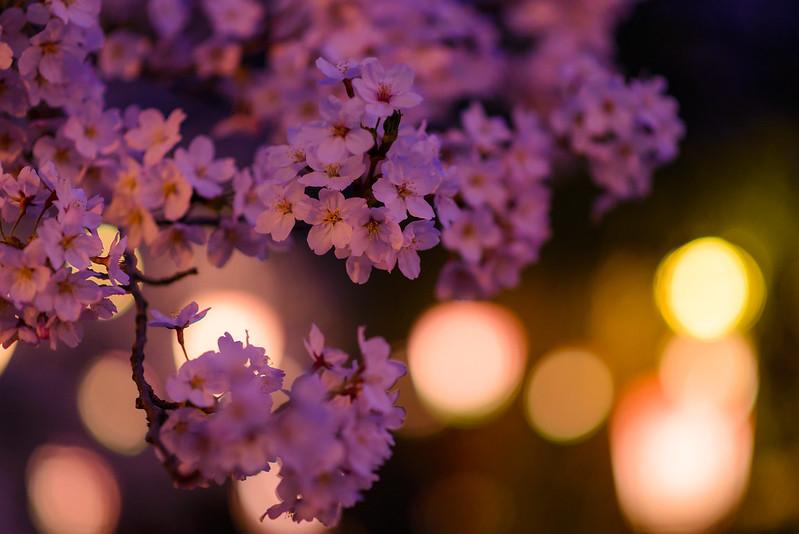 打吹公園 桜-13