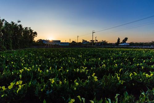 morning sunrise canon calla wideangle taichung 台中 6d 海芋 日出 晨 廣角 外埔 甲后路 ef1635mmf4lisusm 水頭二路
