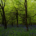 Bluebell Wood by benjafooli