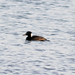 chipperatl2 has added a photo to the pool:4/18/2015 - Calhoun County, MI - County First record of Surf Scoter.  ebird.org/ebird/view/checklist?subID=S22933228