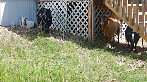 Goats in Shade