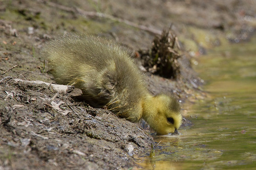 Canada Gosling Taking a Drink from the Pond