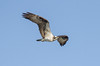 Osprey - Pandion haliaetus by Bill VanderMolen