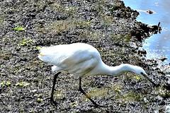 Little & Great Egret