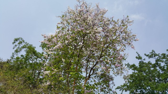 At Royal Ratchaburi, Thai SAKURA