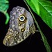 Owl Butterfly by arthurjsteinberger