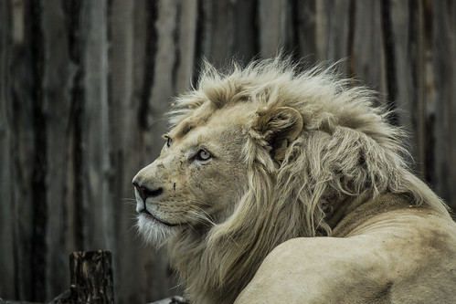 White lion in the zoo of Györ
