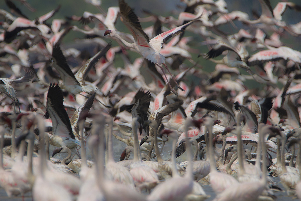 IMG_2015_03_22_010853Flamingoes s